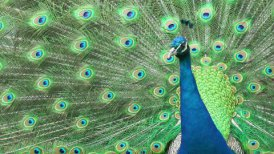 Beautiful peacock close-up - editable clip, motion graphic, stock footage