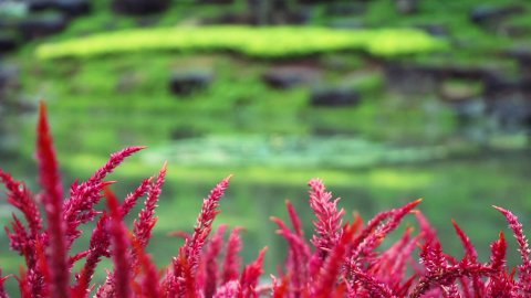 focusing from flowers to pond in park - stock footage