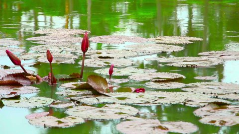 flowers on pond in park during rain - stock footage