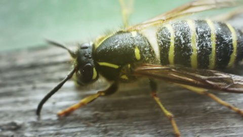close-up of wasp cleaning - stock footage