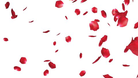 Rose petals Falling, against white - stock footage