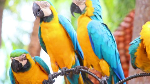group of shouting aggressive colorful parrot macaw - stock footage