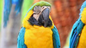 portrait of colorful parrot macaw - motion graphic