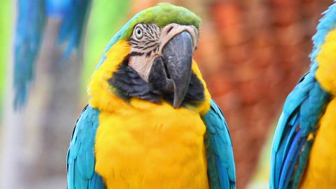 portrait of colorful parrot macaw - stock footage