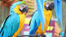 sleepy colorful parrot macaw on branch - motion graphic