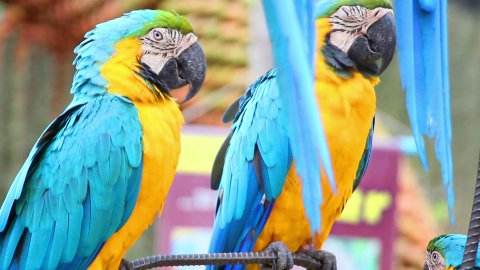 sleepy colorful parrot macaw on branch - stock footage