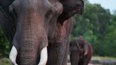 portrait of indian elephant - stock footage