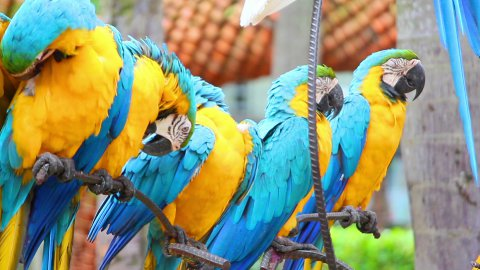 group of shouting colorful parrot macaw - stock footage