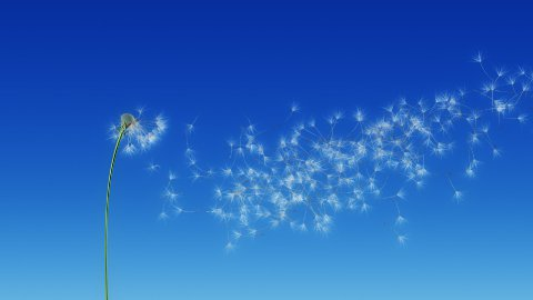 Dandelion Blue Sky (with Matte) - stock footage