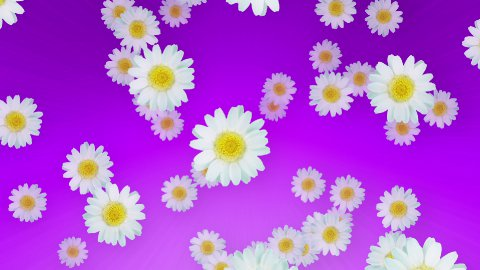 Spring Summer Daisies Purple - stock footage