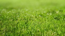 Perfect green lawn. Sward with dew. - motion graphic
