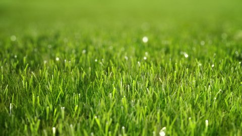 Green morning grass with dew. Slow camera fly over. Perfect Lawn. - stock footage