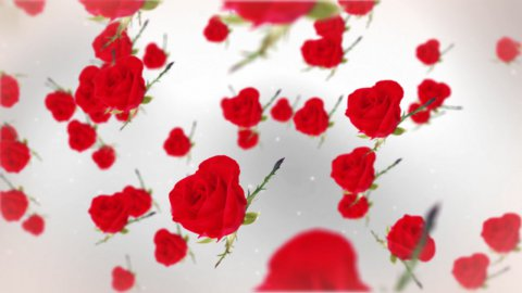 Roses against white - stock footage