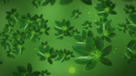 Green tea leafs - motion graphic